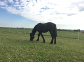 Percheron csik� elad�!